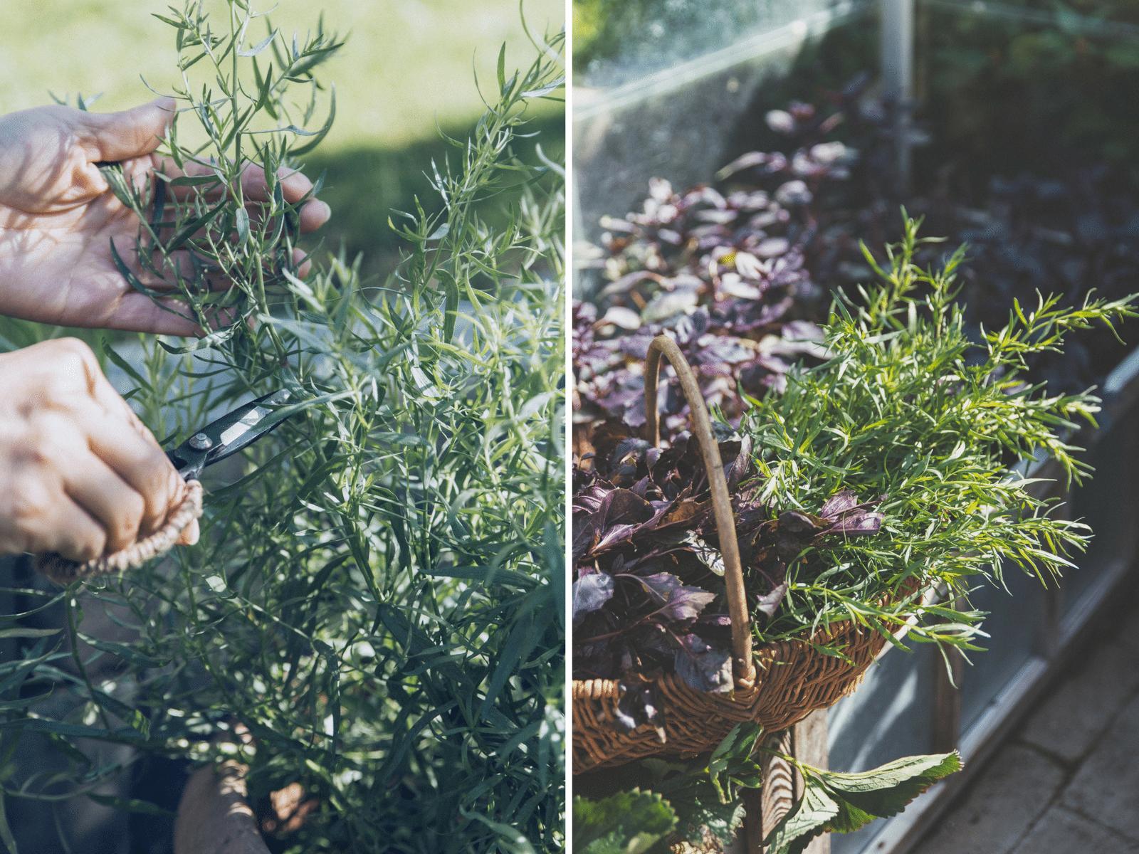 tørre krydderurter, basilikum, mynte og estragon